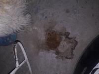 Dificultad al tragar en perros, Schnauzer estándar