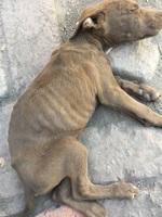 Estreñimiento en perros, Pit bull