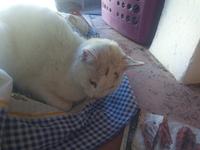 Gato ,Algodon, mi gato cruce macho, tiene dificultad al tragar, vómito y mal apetito