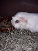 Secreción ocular en roedores, Cobaya abisinio