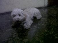 Copito, mi perro caniche macho, tiene vómito, mal aliento y dificultad para defecar