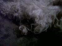 Dificultad para defecar en perros, Caniche