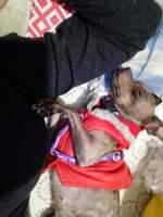 Kasy, mi perro chihuahueño hembra, tiene dificultad para defecar