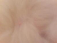 Se rasca en los oídos en gatos, Persa tradicional