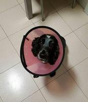 Sangre en orina en perros, Cocker Spaniel Inglés