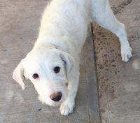 Dificultad para defecar en perros, Labrador