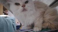 Respira con dificultad en gatos, Persa tradicional