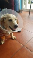 Coco, mi perro labrador macho, tiene sangre en orina, orina muy poco y dificultad para orinar