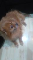 Funci, mi perro pomerania macho, tiene vómito, mal aliento y estreñimiento
