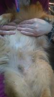 Estreñimiento en perros, Pomerania