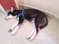 Flatulencia en perros, Husky siberiano