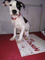 Dificultad al tragar en perros, Pit bull