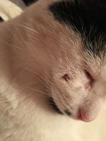 Pérdida de piel en gatos, Común europeo