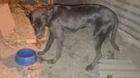 Defeca en casa en perros, Labrador