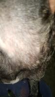 Secreción en los oídos en perros, Bulldog francés