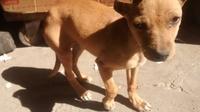 Dificultad al masticar en perros, Chihuahueño