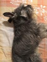 Defeca en casa en perros, Schnauzer estándar