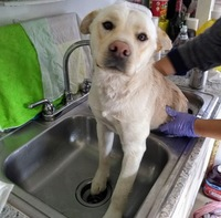 Vomit en dogs, Labrador Retriever