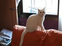 Sangre en las heces en gatos, Angora turco