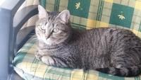 Cojera en gatos, Europeo de pelo corto