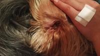 Secreción en los oídos en perros, Yorkshire terrier