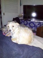 Vómito con sangre en perros, Terrier escocés