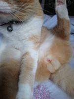 Sangrado en pene en gatos, Común europeo