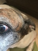 Mascarita, mi perro cruce hembra, tiene un problema de salud