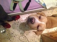 Nubes o película transparente blanca en los ojos en perros, Labrador