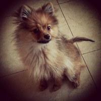 Defeca en casa en perros, Pomerania