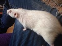 Respira con dificultad en roedores, Rata dumbo