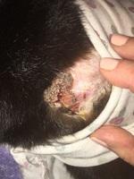 Pérdida de piel en gatos, Maine coon