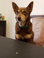 Tengo una duda sobre Jazzy, mi perro cruce hembra