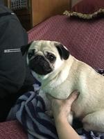 Arya, mi perro pug hembra, tiene picor y rascarse