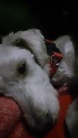 Hinchazón testicular en perros, Desconocida
