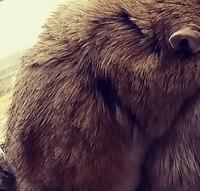 Picor y rascarse en roedores, Jerbo