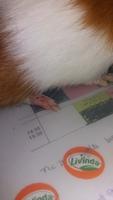 Chusco, mi roedor cobaya satin macho, tiene dolor al contacto