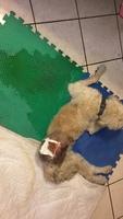 Cacho, mi perro cruce de caniche macho, tiene sed excesiva y pérdida de piel