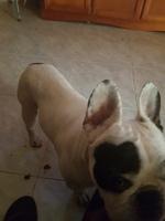 Desorientación en perros, Bloodhound
