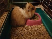 Atila, mi roedor cobaya macho, tiene un problema de salud