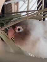 Heridas en aves, Agapornis personatus