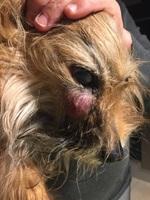 Nubes o película transparente blanca en los ojos en perros, Yorkshire terrier
