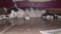 Orina muy poco en gatos, Americano de pelo corto