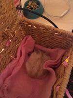 Debilidad en roedores, Hámster