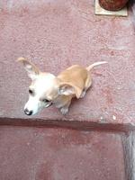 Coco, mi perro chihuahueño hembra, tiene vómito, convulsiones y abdomen inflamado