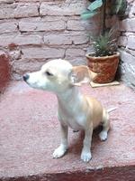Come cosas no alimenticias (Plásticos, calcetines etc.) en perros, Chihuahueño