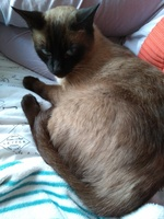 Cojera en gatos, Siamés