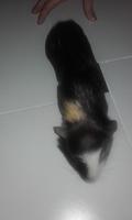 Diarrea en roedores, Cobaya