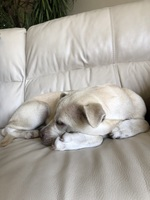 Bad appetite en dogs, Pit bull