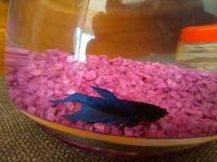Respira con dificultad en peces, Beta